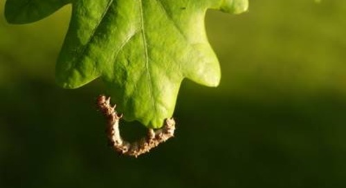 How to Get Rid of Oak Tree Caterpillars