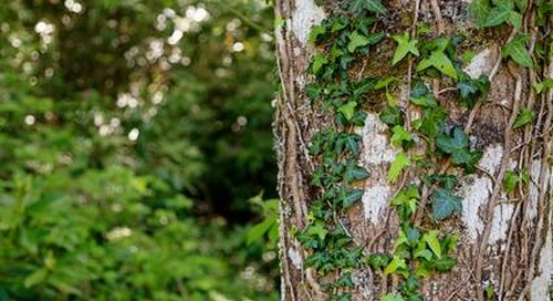 Why You Should be Removing Ivy from Trees