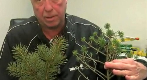 Blue Spruce Tree Needles Turning Yellow, Brown, Then Dropping? Check for…