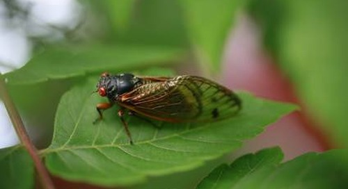 Do Cicadas Damage or Eat Trees?
