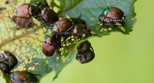 How to Get Rid of Japanese Beetles in Summer, Fall and Spring