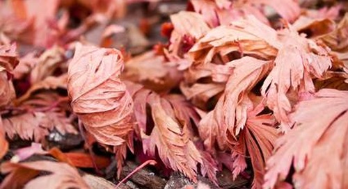 What to Do When Your Japanese Maple Has Crispy or Brown Leaves