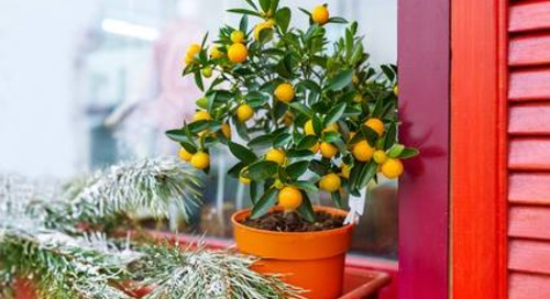 Winterizing and Storing Potted Trees Over Winter