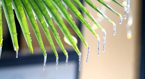 What to Do About Palm Freeze Damage (and How to Protect Palms)