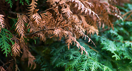 How To Help Evergreen Shrubs With Winter Burn