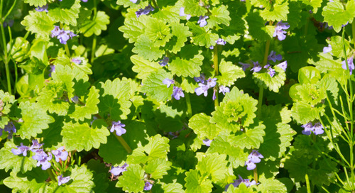 How Do I Get Rid of Ground Ivy or Creeping Charlie in My Yard?