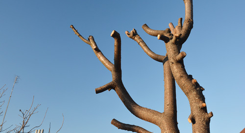How Often Should You Prune To Fix A Topped Tree?