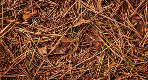 Can I Use Pine Needles For Mulch?