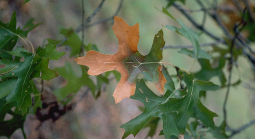 Why Are My Oak Tree Leaves Turning Brown?