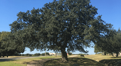 Is It Too Late to Trim Oak Trees?