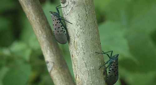 Spotted Lanternfly (SLF) Alert: What You Need to Know