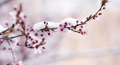 How to Save Fruit Tree Blossoms and Fruit from a Late Freeze