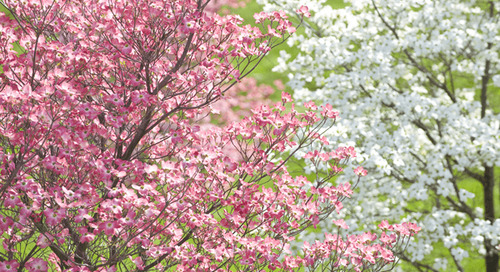 Best Small Flowering Trees for Your Landscape