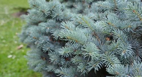 Do I Have a Blue Spruce Tree?
