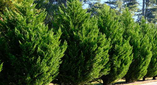 Fast Growing Tree for Privacy: Leyland Cypress