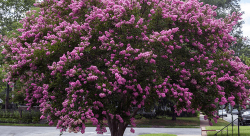 Do I Have a Crepe Myrtle Tree?