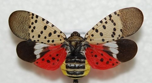 How to Get Rid of the Spotted Lanternfly