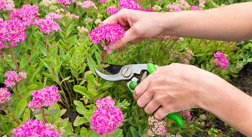 Perennial Plant Care: What You Need to Know About Cutting Back Perennials