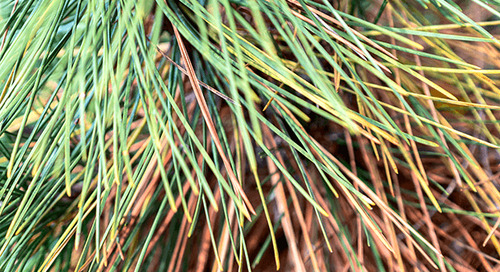 Diplodia Tip Blight on Pines