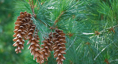Do I Have a White Pine?