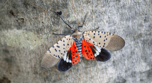 Do Spotted Lanternflies Die in Winter?
