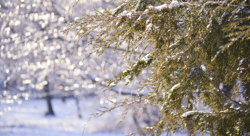How To Protect Cedar Trees in Winter