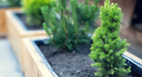 Can You Grow Evergreens in a Container?