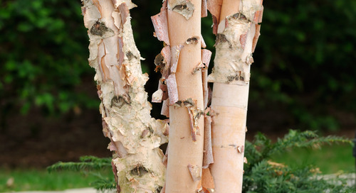 Do I Have a River Birch Tree?