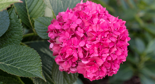 Caring for Hydrangeas Outdoors: Tips on Planting & Growing