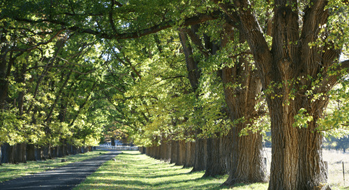 Tree Identification Guide: How to Identify an Elm Tree