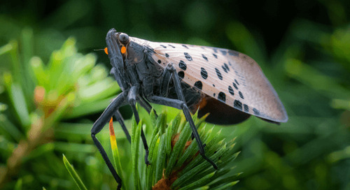 Spotted Lanternflies Predators