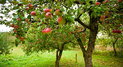 Guide to Transplanting Fruit Trees
