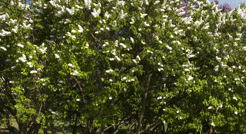 Tree Identification Guide: How to Identify a Japanese Lilac Tree