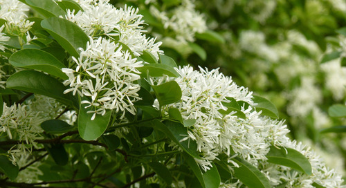 Tree Identification Guide: How to Identify a Fringe Tree