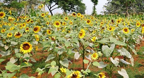 Mengunjungi Hamparan Bunga Matahari di Arumdalu Farm