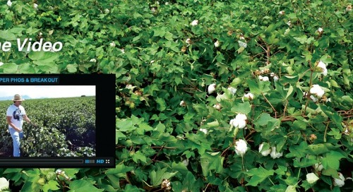 Amazing Results with HUMA GRO® on Cotton Farm