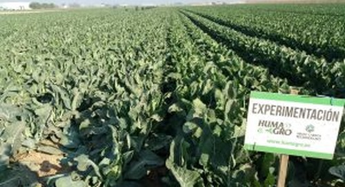 HUMA GRO® ZAP® CAULIFLOWER TEST FIELD IN SPAIN