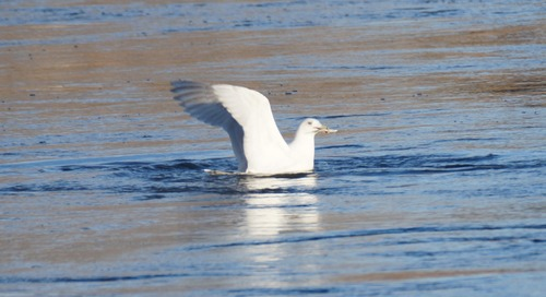 Correction:  It was an Iceland Gull