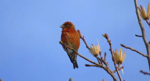 Seeing the elusive Pine Grosbeak – thanks to a lot of help