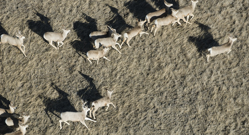 Commission Takes Flight Again for Mule Deer Data