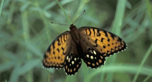 Aflutter with Butterflies – Nebraska Outdoors Radio
