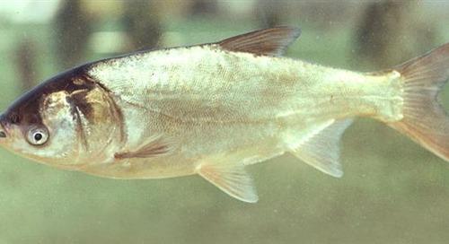 Milk Fish?  Silver Carp?