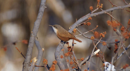 Chasing the Cherry County Canyon Wren