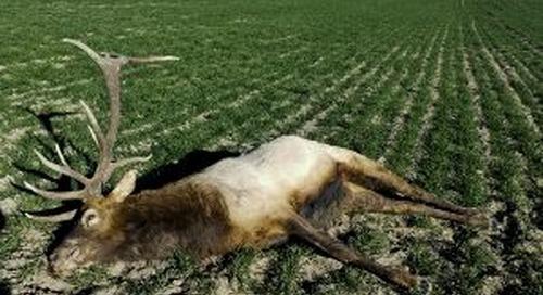 Reward Doubled in Poached Elk Case
