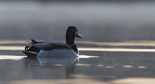 Lake Minatare Opening to Birdwatchers Dec. 10