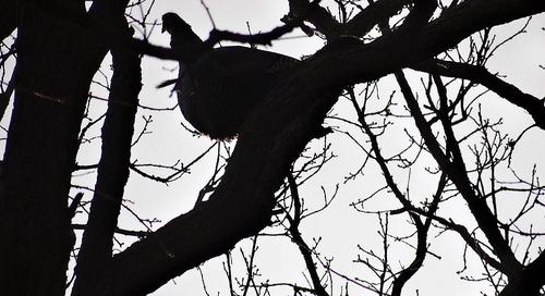 Celebrating Bird Month With Turkey Talk
