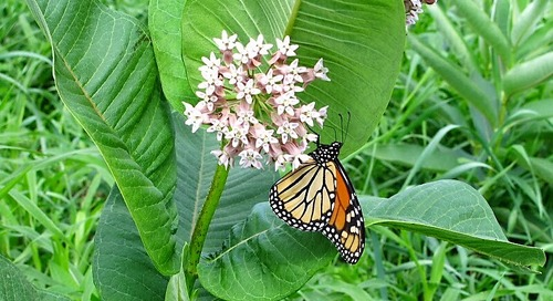 The Dire Need for More Milkweed
