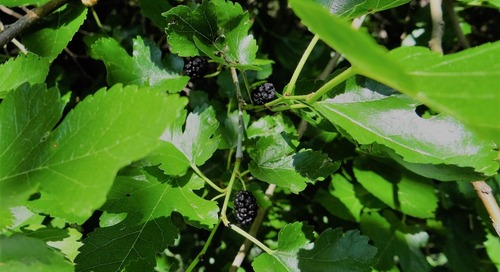 Wild about Nebraska Fruits and Berries