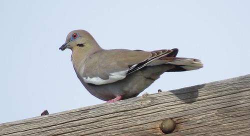 White-winged Doves having banner year