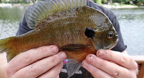 Summer Means Hot Bluegill Fishing